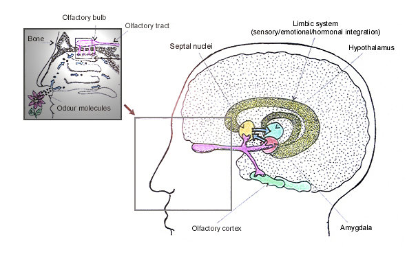 Olfactory System